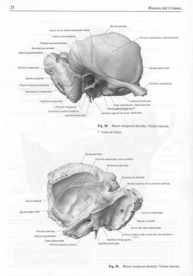 Bonito Hueso Temporal Anatomía 3d Ilustración - Imágenes de Anatomía ...