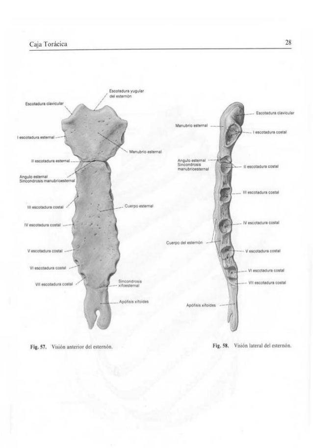 Dorable Anatomía Del Esternón Imágenes - Anatomía de Las Imágenesdel ...