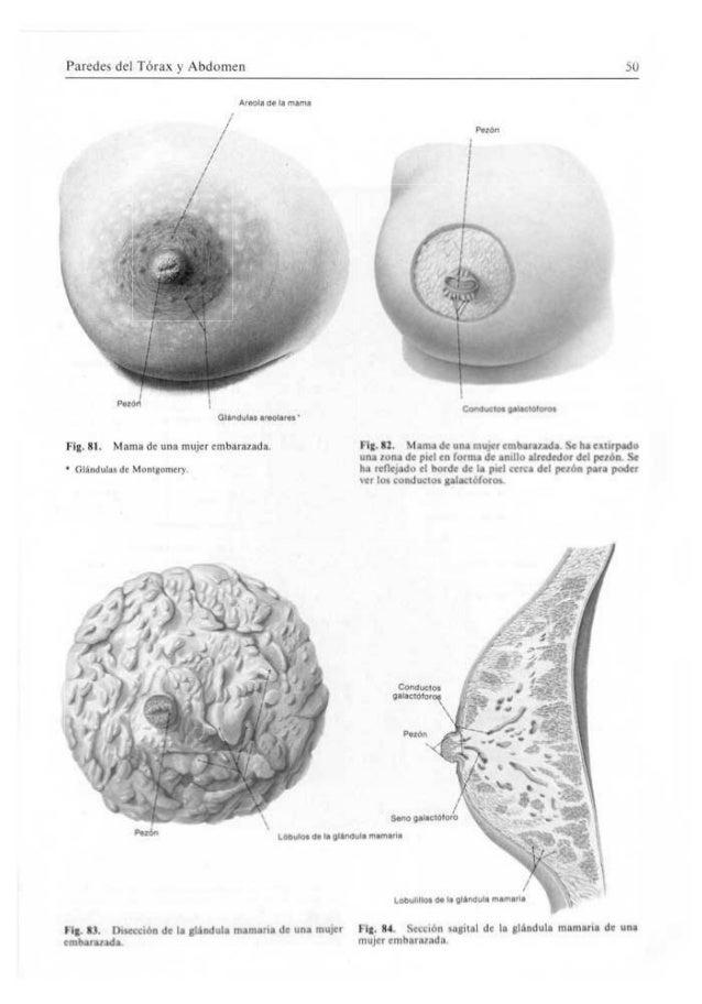 Bonito Anatomía Del Abdomen De Una Mujer Cresta - Imágenes de ...