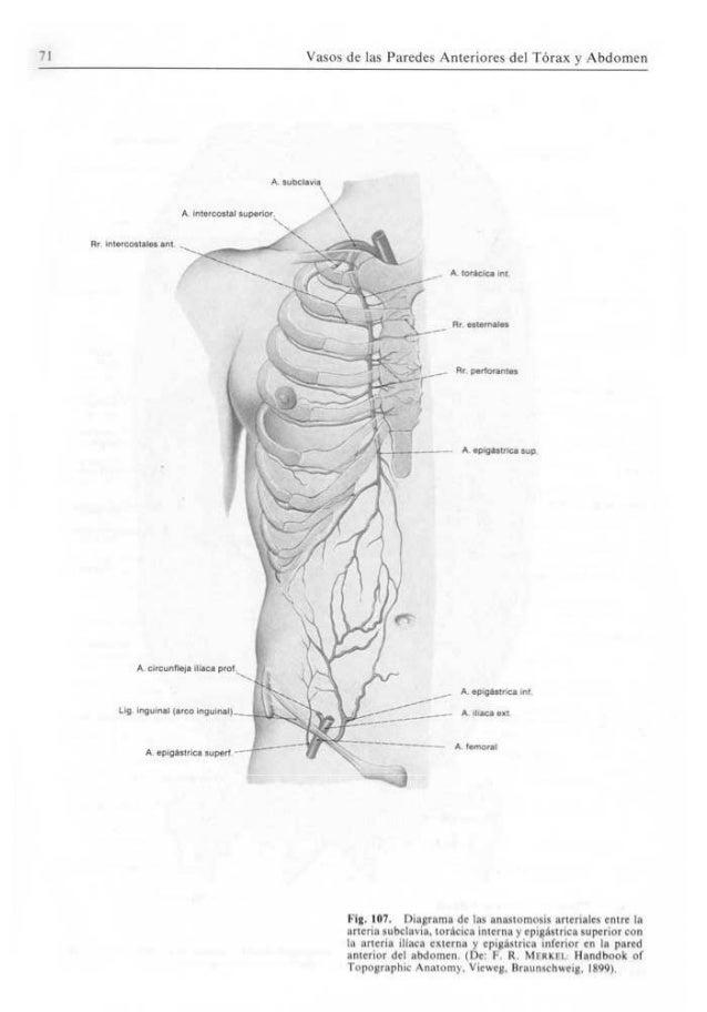 Excepcional Diagrama De La Anatomía Abdomen Femenino Bosquejo ...