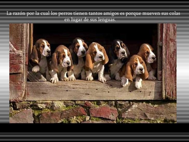 La razón por la cual los perros tienen tantos amigos es porque mueven sus colas en lugar de sus lenguas.