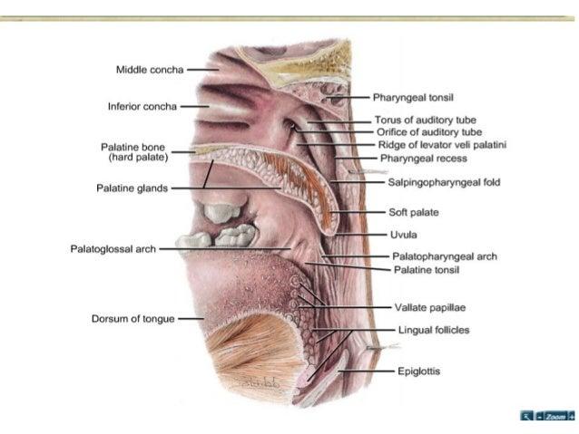 Anatomy of Soft palate