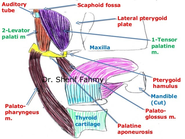 Soft Palate (Anatomy of the Neck)