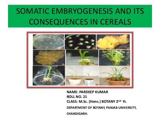SOMATIC EMBRYOGENESIS AND ITS CONSEQUENCES IN CEREALS NAME: PARDEEP KUMAR ROLL NO. 21 CLASS: M.Sc. (Hons.) BOTANY 2nd Yr. ...