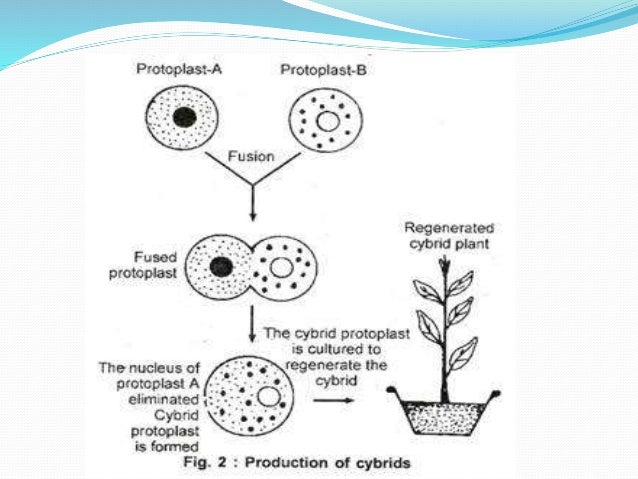 Protoplast fusion and somatic hybridization   biotechnology.