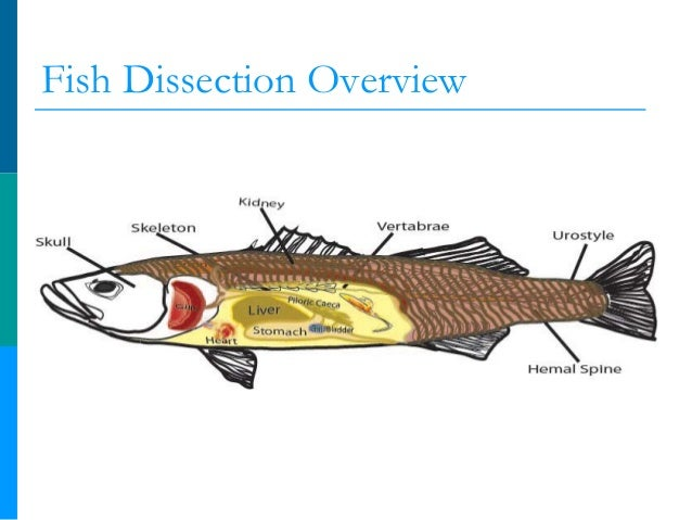 Sometime fish an anatomy lesson for middle school students