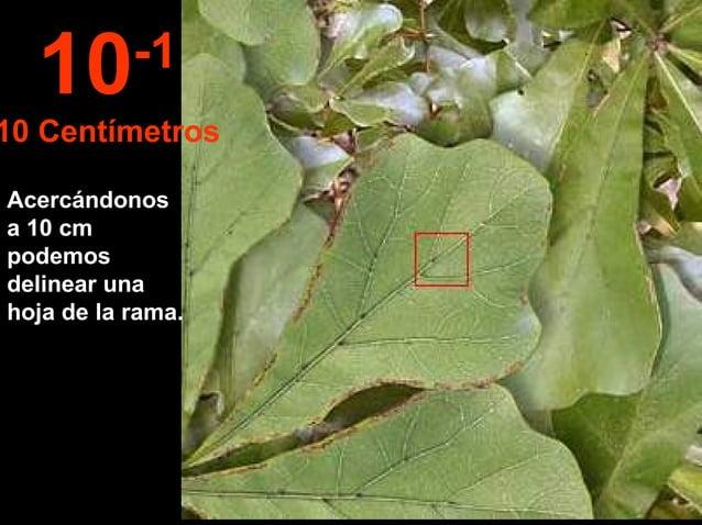 Acercándonos a 10 cm podemos delinear una hoja de la rama. 10-1 10 Centímetros