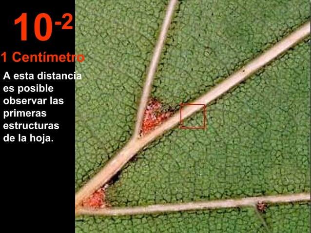A esta distancia es posible observar las primeras estructuras de la hoja. 10-2 1 Centímetro