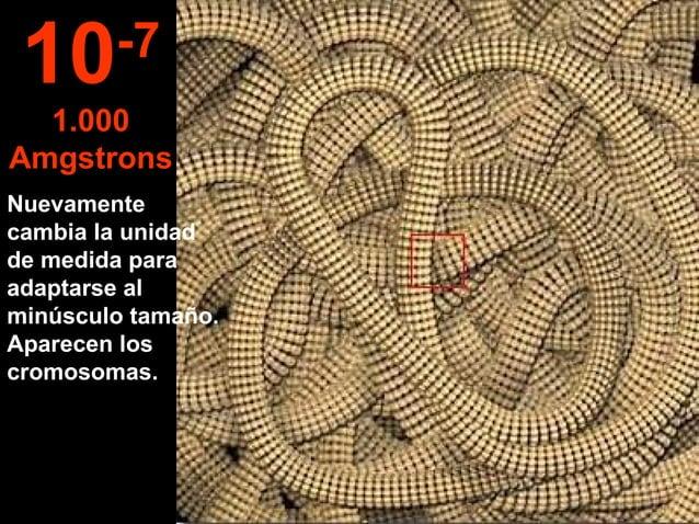 Nuevamente cambia la unidad de medida para adaptarse al minúsculo tamaño. Aparecen los cromosomas. 10-7 1.000 Amgstrons
