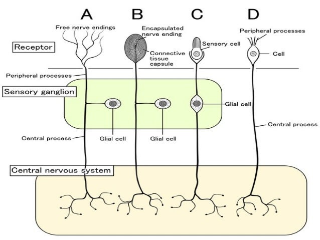 sensory recepters Introduction to sensory receptors organisms use their sensory systems to gain  information about their environment external cues are converted or transduced.