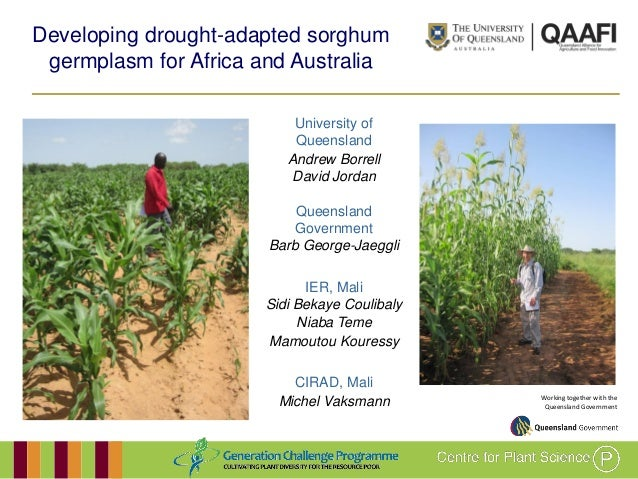 Working together with theQueensland GovernmentDeveloping drought-adapted sorghumgermplasm for Africa and AustraliaUniversi...