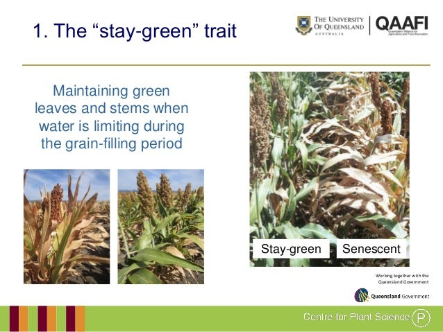 GRM 2011: Development and evaluation of drought-adapted sorghum germplasm for Africa and Australia Slide 3