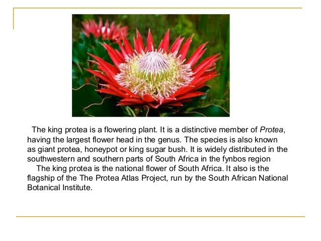 The King Protea, South Africa's national flower | Cape Town Daily ...