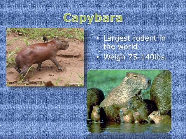 • Found in the Amazon Basin • Main food is capybara • Weigh up to 550lbs.