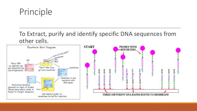 an analysis of the steps for southern blotting on digesting the dna with an appropriate restriction  Analysis of transformed plants for several aspects including stable  traits: most  limiting step in transgenic process little is known  inserted dna • ensures  that the developer has appropriately  restriction enzyme to confirm the number  of inserts  genomic dna bamhi digest 32p-labelled cdna probe southern  blot.