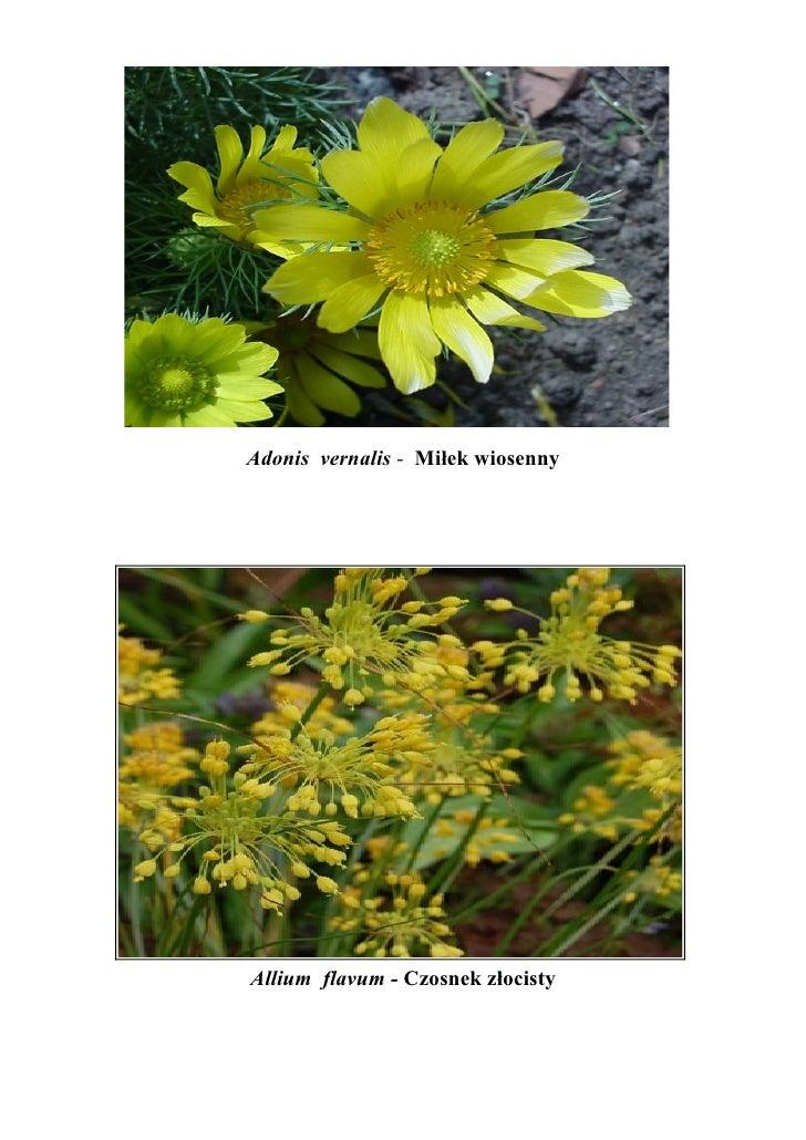 Adonis vernalis - Miłek wiosennyAllium flavum - Czosnek złocisty