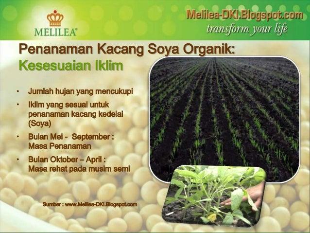Penanaman Kacang Soya Organik:  Kesesuaian Iklim  • Jumlah hujan yang mencukupi  • Iklim yang sesuai untuk  penanaman kaca...