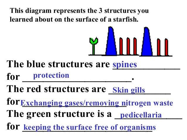 Sea Star Structure Diagram Diy Enthusiasts Wiring Diagrams