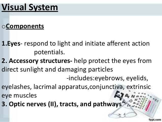 Visual System oComponents 1.Eyes- respond to light and initiate afferent action potentials. 2. Accessory structures- help ...