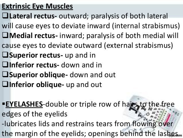 Extrinsic Eye Muscles Lateral rectus- outward; paralysis of both lateral will cause eyes to deviate inward (internal stra...
