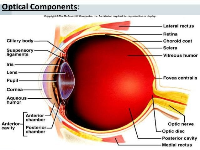 Light refraction One of the first organs transplanted Central part of the cornea receives oxygen from the outside air. ...