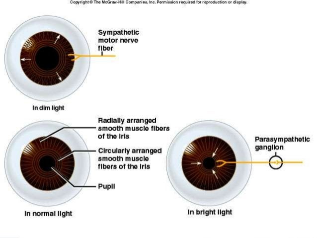 •Lens Transparent Biconvex Lies behind iris Held in place by suspensory ligaments of ciliary body