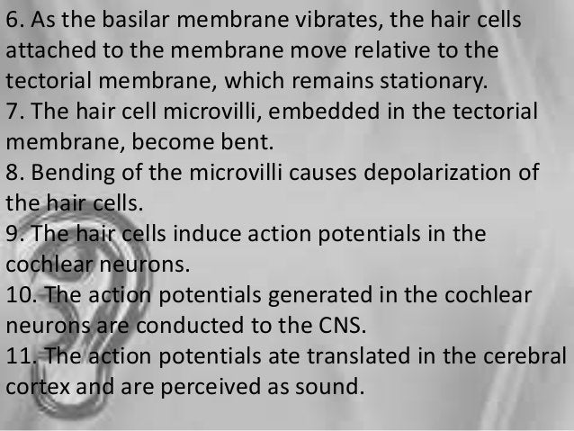 b. sensorineural/nerve- interruption of cochlear nerve fibers from hair cells to BS -cause: cochlear nerve/ inner nerve VE...