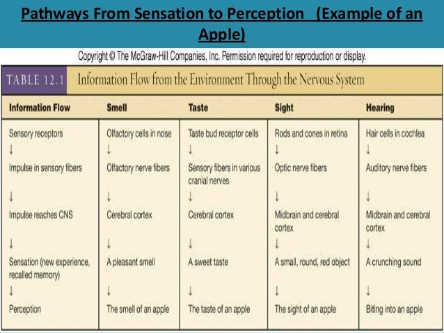 Pathways From Sensation to Perception (Example of an Apple)