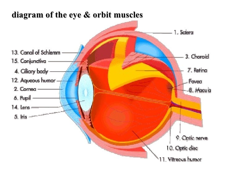 Eye muscle orbit diagram information of wiring diagram special senses for review rh slideshare net diagram of the outer eye eye socket diagram ccuart Image collections