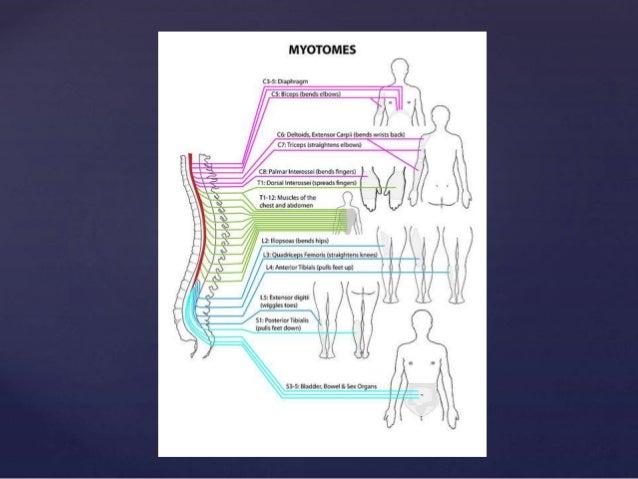 Cervical Plexus: C1-C4 nerve roots innervate the diaphragm, shoulder and neck. Brachial Plexus : C5-T1 nerve roots innerva...
