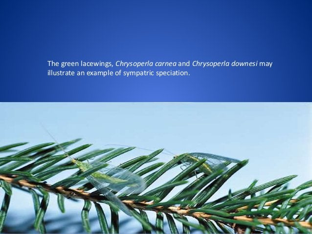 The green lacewings, Chrysoperla carnea and Chrysoperla downesi may illustrate an example of sympatric speciation.