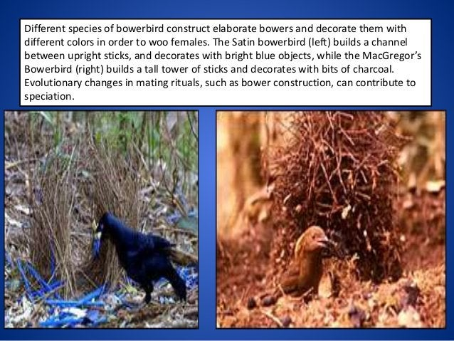 Different species of bowerbird construct elaborate bowers and decorate them with different colors in order to woo females....