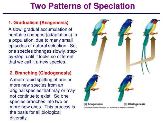Two Patterns of Speciation1. Gradualism (Anagenesis)A slow, gradual accumulation ofheritable changes (adaptations) ina pop...
