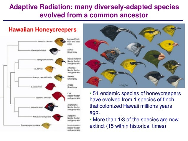 adaptive radiation Abstract: adaptive radiation refers to diversification from an ancestral species that produces descendants adapted to use a great variety of distinct ecological niches.