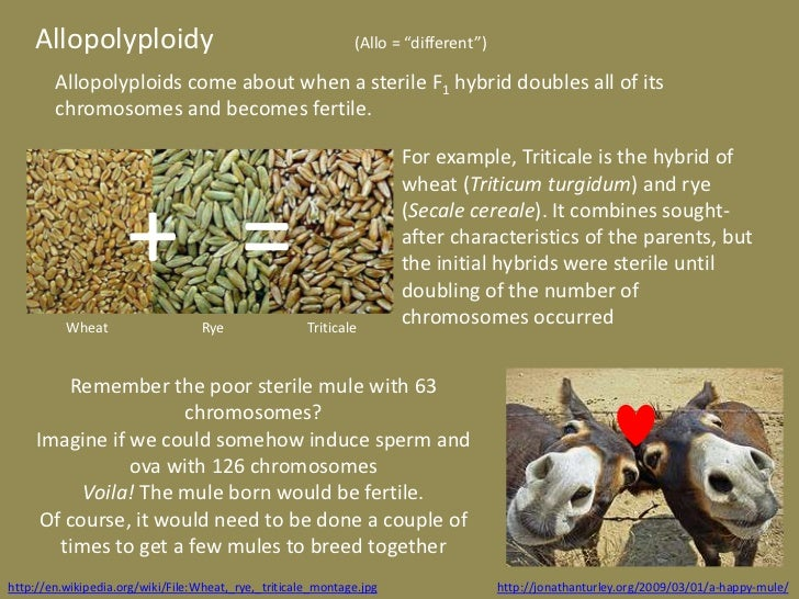 """Allopolyploidy                                            (Allo = """"different"""")        Allopolyploids come about when a ste..."""