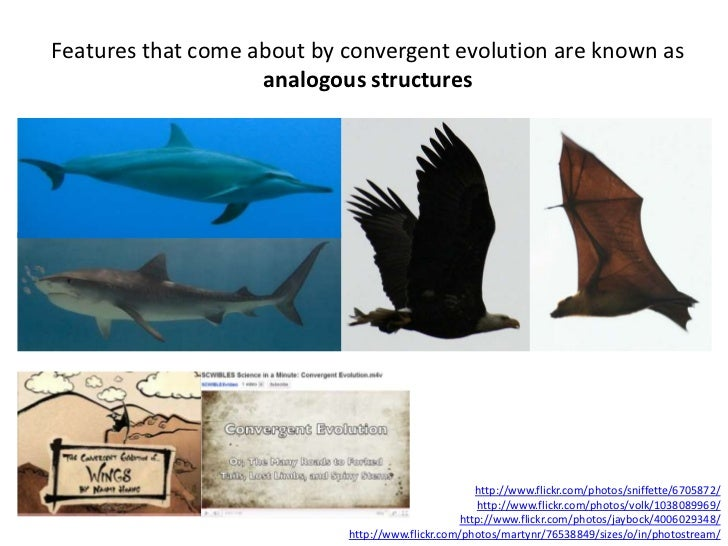 Features that come about by convergent evolution are known as                    analogous structures                     ...