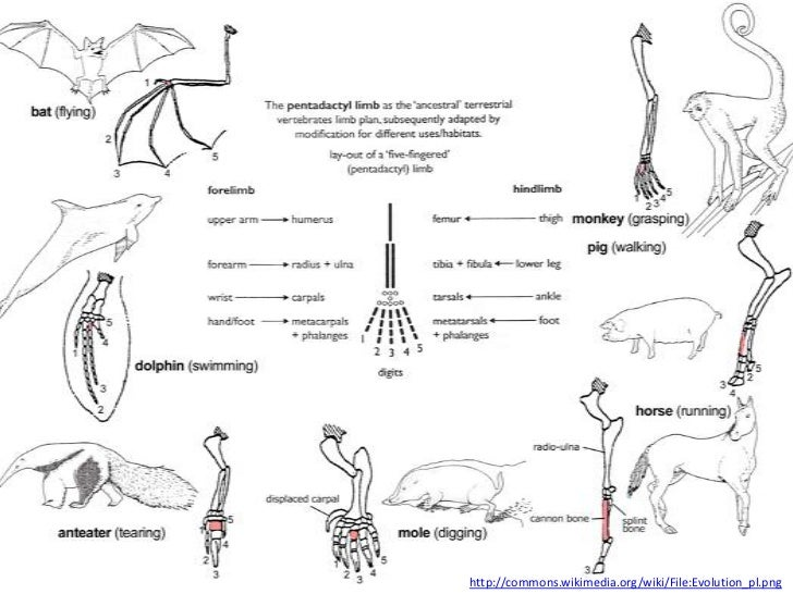http://commons.wikimedia.org/wiki/File:Evolution_pl.png