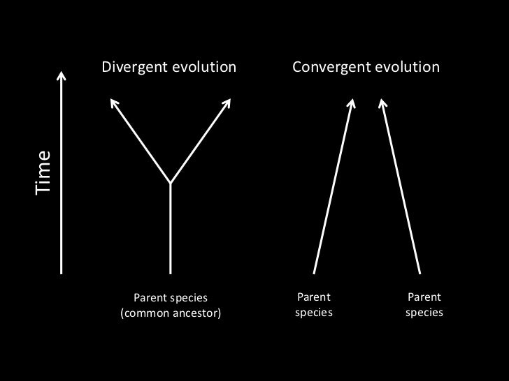 Divergent evolution   Convergent evolutionTime            Parent species   Parent         Parent         (common ancestor)...