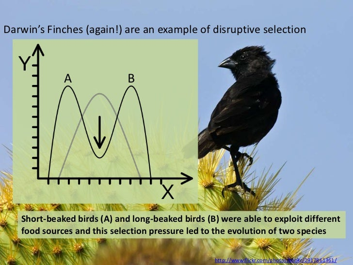 Darwin's Finches (again!) are an example of disruptive selection             A               B   Short-beaked birds (A) an...
