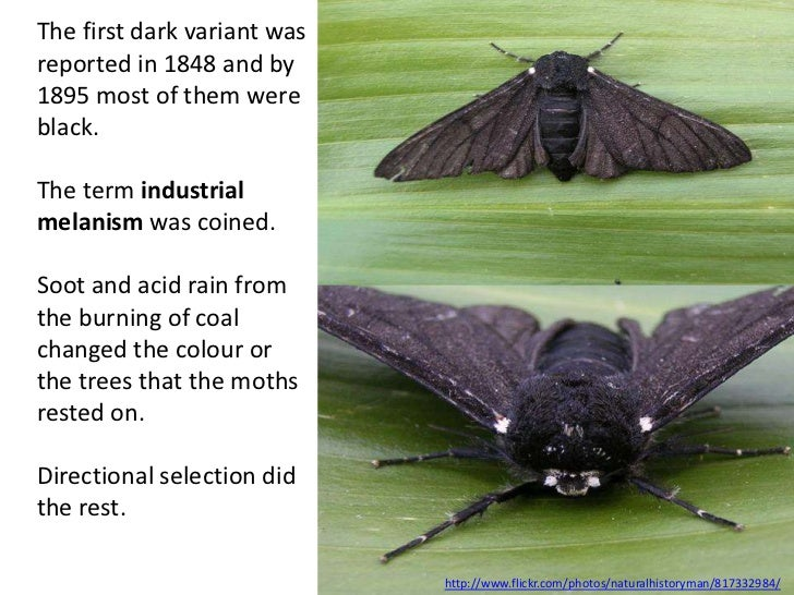 The first dark variant wasreported in 1848 and by1895 most of them wereblack.The term industrialmelanism was coined.Soot a...