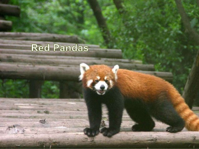 • Red Pandas are an endangered species• They are exellent climbers• They eat mostly bamboo small mammals and mapleberries