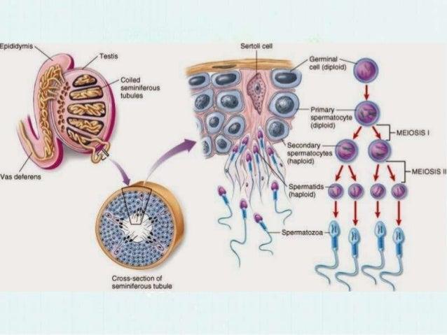 Spermatogenesis tahapan 6 perbedaan spermatogenesis ccuart Choice Image