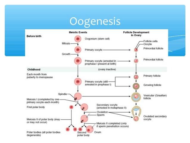 Spermatogenesis vs oogenesis germinario oogenesis ccuart Choice Image