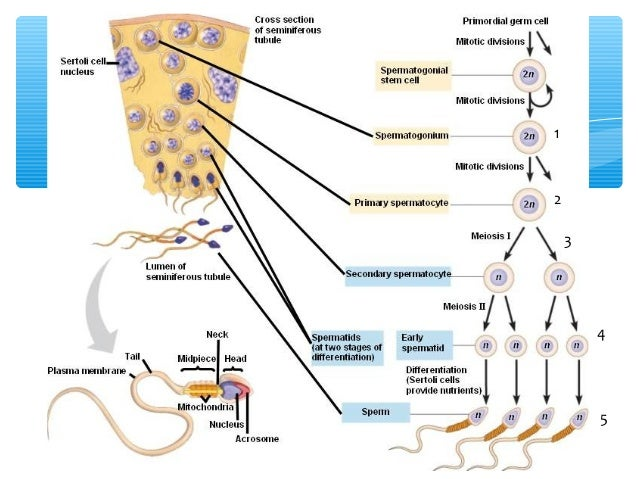Spermatogenesis vs oogenesis germinario spermatogenesis structure of a mature sperm spermatozoa ccuart Choice Image