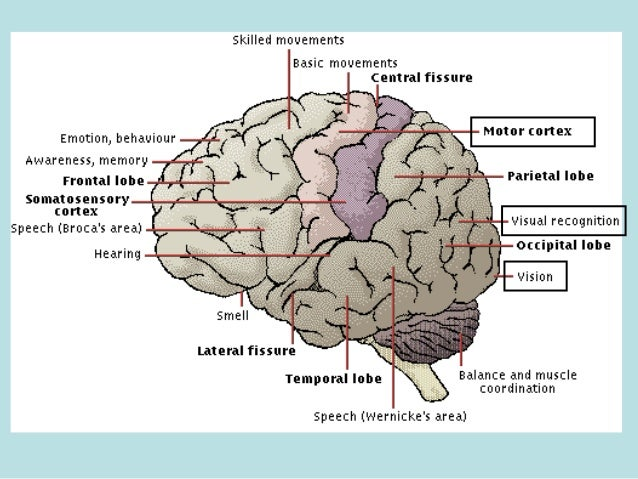 Brain Structure and Function Changes During the ...