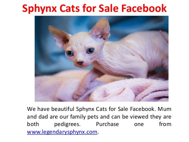 Sphynx Cats for Sale Hoobly