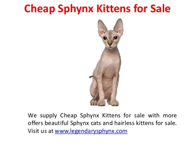 Sphynx Kittens Breeders near Me