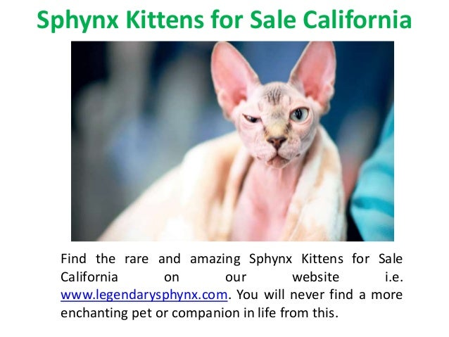 Sphynx Kittens for Sale Maryland
