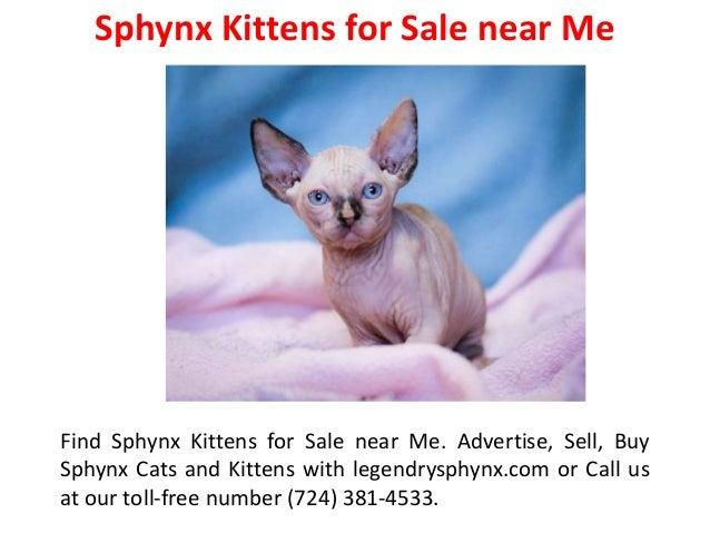 Sphynx Kittens for Rehoming