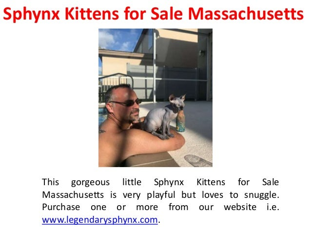 Sphynx Cat Breeders near Me